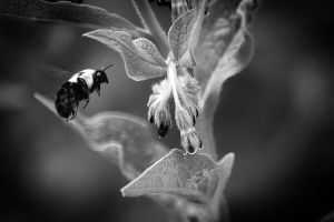 Flight of the Bumble Bee 4 by S-H-Photography