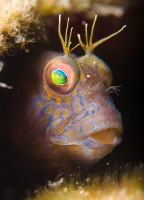 Blenny by leighd