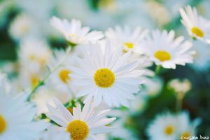 Daisies are like... by gustiidiaz