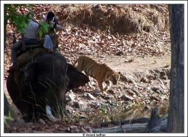 Bhandavgarh - Tigress 08 by Knightmare-at-9