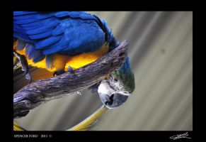 Blue and Gold macaw by Sketching-Sketches
