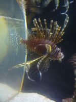 Lion Fish by canciondemedianoche