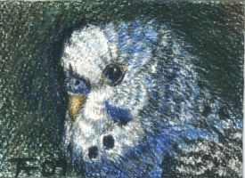 Budgie ACEO - SOLD by Orchid-Black