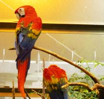 Scarlet Macaws by Kitteh-Pawz