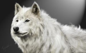 Arctic White Wolf by farooky