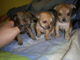 Babies chihuahuas by Boltession