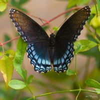Blue Butterfly by lanephotography