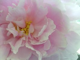 Pink Peony by Ame-Star