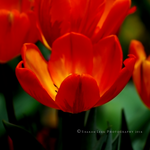 Tulips 2014 by SharonLeggDigitalArt