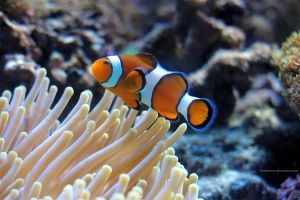 Clownfish by JaneJeevas