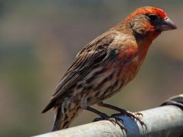 Male House Finch 9 by photographyflower
