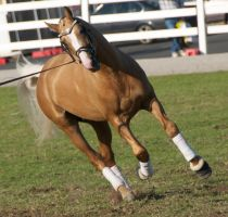Palomino, cantering - Stock by hh-harley