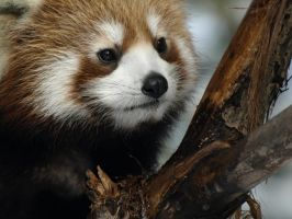 Red Panda New Life 7 by KodaSilverwing