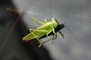 grasshopper_001 by SamGambschie