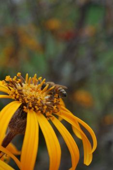Bee in flower at green gables by MuseIsMyMuse777