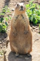 Prairie Dog by Vitaloverdose