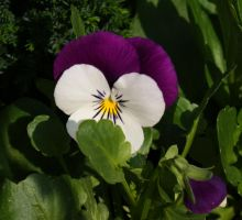 Purple And White Pansy by BlueFireVixon