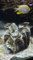 Giant Clam by saiquarx