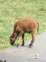 Baby Bison. by pokemontrainerjay