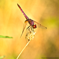 Dragonfly II by psilocybica