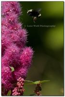Real Bees Like Pink II by LoneWolfPhotography