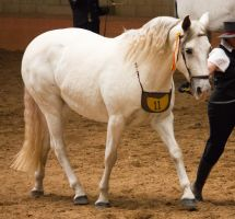 STOCK - 2014 Andalusian Nationals-157 by fillyrox