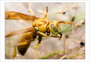 Yellow Wasp 2006 by Hatch1921