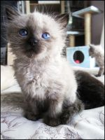 Foster Kitten Thistle by CandaceIsVampire