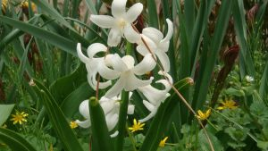 Hyacinth White Flower by Photoswithwings