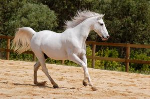 Arab canter on side 5 by Chunga-Stock