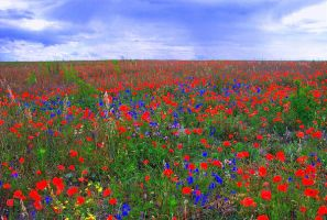 Poppie Field Ukraine by IamElvis