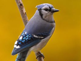 Blue Jay profile by MichelLalonde