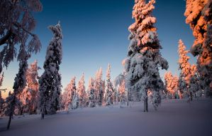 Winterlit Candletrees by Ardak