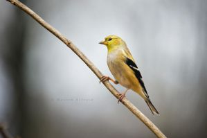 american goldfinch by bad95killer