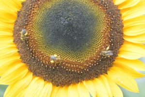 Pollen Station, Bees and Sunflower 15 by Miss-Tbones