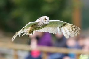 2012-130 Long Eared Owl by W0LLE