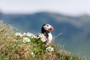 Puffin, Iceland by Ilmareilin