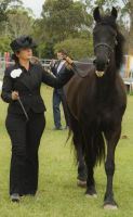 Friesian walk by Araluen-Ekala