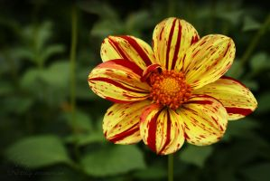 dahlia flower red yellow by Nexu4