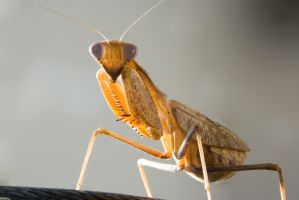 Praying Mantis Stock Image 2 by zpyder