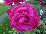Auntie's Flowers: Rose by JazzmasterCurious