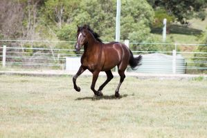 Dn black pony canter front view by Chunga-Stock