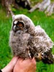 Young long eared owl by Epic-stock