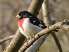 Rose-Breasted Grosbeak by MichelLalonde