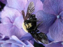 Bee on Hydrangea by Track-Maidens