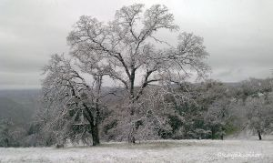 Oaks in Snow wallpaper by kayaksailor