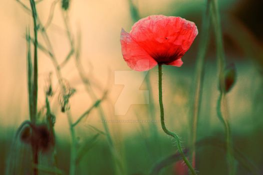 Le  coquelicot by RealistOnTheRainbow