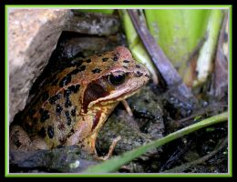 the frog by Mado29