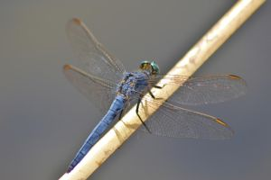 Dassia dragonfly August 2014 5 2 by melrissbrook