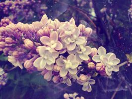 Lilac M. by Nincebo